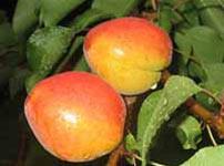 Фруктовые деревья абрикосы роксана